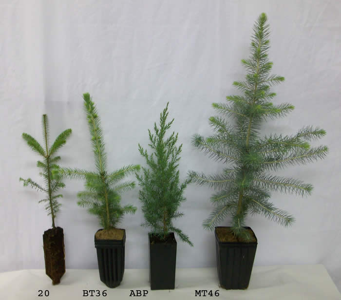 Tree Seedlings Availability Conifers Exotic Conifer Plant Bands Pots Hardwoods