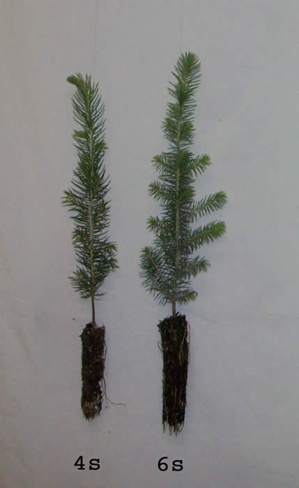 Conifers are grown in the following containers: - Tree Seedlings - Conifers, Spruce, Pine, Fir, Larch And Cedar