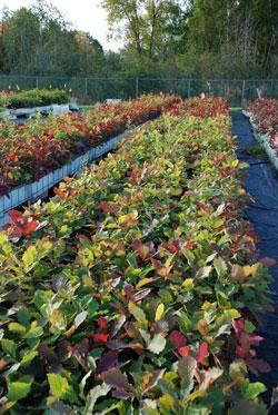 Hardwood Tree Seedlings|walnut|oak|ash|aspen|birch|cherry|maple