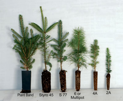container sizes of our conifer tree seedlings