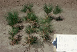 rhizopogon treated pine